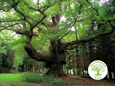 Protect the UK's Very Important Trees - Woodland Trust | CW | Scoop.it