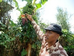 Drive to control banana disease before June | The Rwanda Focus - BTC | International aid trends from a Belgian perspective | Scoop.it