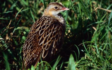 On the lonely trail of Orkney's corncrakes – Amy Liptrot – Aeon | Perception | Scoop.it