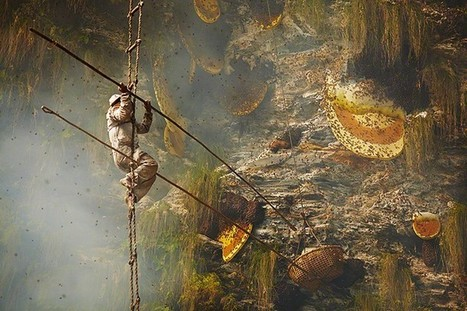 The ancient art of honey hunting in Nepal - in pictures | Agricultural Biodiversity | Scoop.it