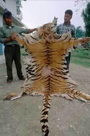 Elefantes, rinocerontes y tigres, acorralados por el tráfico de especies   Animales en peligro   Scoop.it