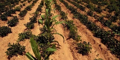 China leads the way: Intercropping for ecological and economic efficiency in agriculture   21st Century Living   Scoop.it