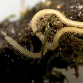 Millipede's 750 Wiggling Legs Snag World Record | Scientific American | CALS in the News | Scoop.it