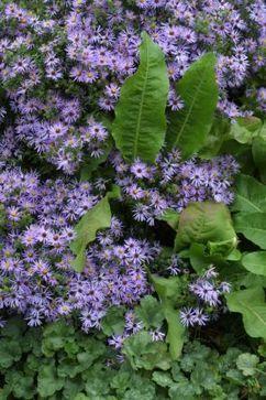 Asterzilla vs. Mumthra - Fine Gardening | Annie Haven | Haven Brand | Scoop.it