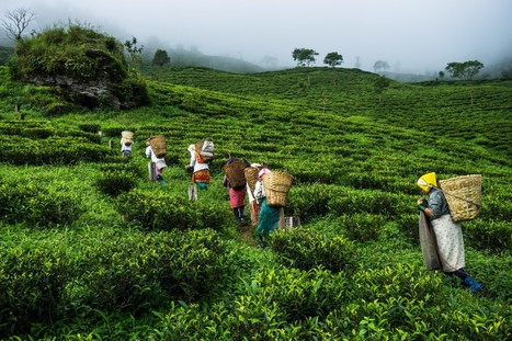 The making of India's most expensive tea | education | Scoop.it