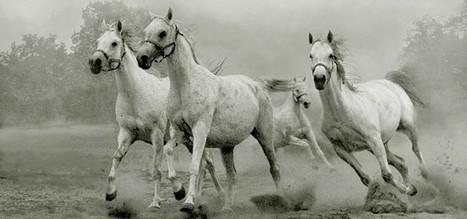 Quelques très belles photos de chevaux pur-sang arabes | Arabian Horses | Scoop.it