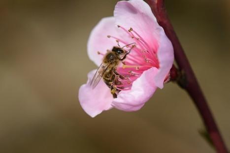 Le nombre d'insectes pollinisateurs a un impact sur l'abondance des récoltes | Biodiversité & Relations Homme - Nature - Environnement : Un Scoop.it du Muséum de Toulouse | Scoop.it
