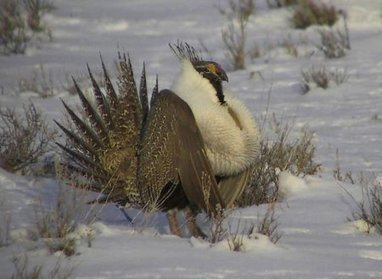 Study eyes powerlines as factor in sage grouse decline | GarryRogers NatCon News | Scoop.it