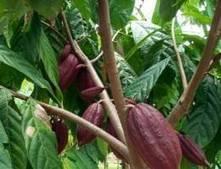 Cadbury sweet on Ord cocoa - The West Australian | Fair Trade Choco-locate | Scoop.it