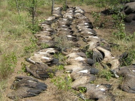 Elephant Poachers Poison Hundreds of Vultures to Evade Authorities - National Geographic   Kruger & African Wildlife   Scoop.it