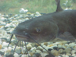 Producing better catfish; net pen use in Washington; Ethiopia's seafood consumption   Hassan   Scoop.it