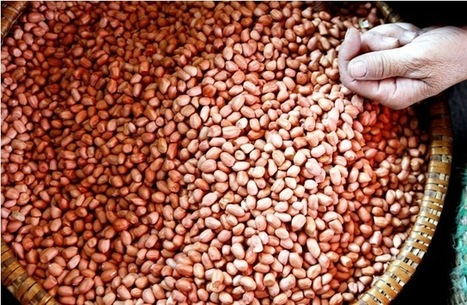 Consuming Peanuts During Pregnancy Reduces Allergy Risk in Children | Birth Matters | Scoop.it