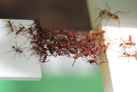Army Ants Act Like Algorithms to Make Deliveries More Efficient | Biomimicry | Scoop.it
