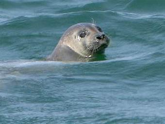 #Sharks flock to Cape Cod, but fishermen fear the #Seals attracting their #predator   Rescue our Ocean's & it's species from Man's Pollution!   Scoop.it