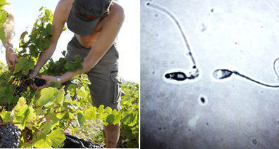 Is the wine industry killing off French sperm? - The Local | Sustain Our Earth | Scoop.it
