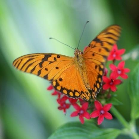 Photo de Papillon : Agraulis vanillae - Papilio vanillae - Dione vanillae | Fauna Free Pics - Public Domain - Photos gratuites d'animaux | Scoop.it