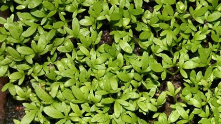 School experiment discovers garden cress won't germinate near a router | Health Supreme | Scoop.it