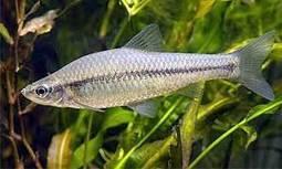 Un pequeño pez asiático, nueva especie invasora en el Guadiana. hoy.es | 4ºB Plagas y especies invasoras en Extremadura | Scoop.it