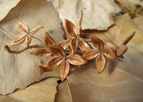 Seed heads / seed pods / berries   Archaeobotany and Domestication   Scoop.it