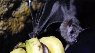 Bat-eating ban to curb Ebola virus | Virology News | Scoop.it