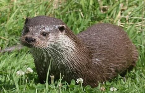 Eurasian Otter Spotted in Kanha National Park: Wildlife News | India Travel & Tourism | Scoop.it