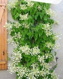 Les plantes grimpantes pour des murs végétalisés | Immobilier | Scoop.it