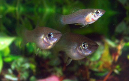 Homosexual Fish More Attractive to Females | Science News | Scoop.it