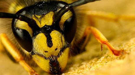 Brazilian Wasp Venom Peptide Kills Cancer Cells While Not Harming Normal Cells | Natural Life Energy - Health Activist | NEED EXTRA HOURS IN YOUR DAY? | Scoop.it