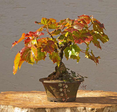 Walter Pall Bonsai Adventures: More fall colors | Container Gardening | Scoop.it