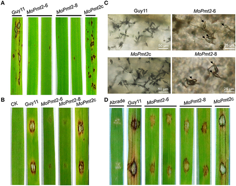 The Pmt2p-Mediated Protein O-Mannosylation Is Required for Morphogenesis, Adhesive Properties, Cell Wall Integrity and Full Virulence of Magnaporthe oryzae | Rice Blast | Scoop.it