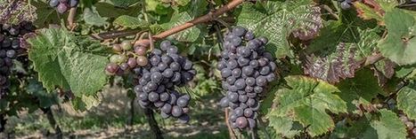 Vendanges : toujours autant de pesticides dans les vignes | Toxique, soyons vigilant ! | Scoop.it
