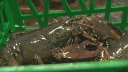 Are Canadian lobsters an invasive species? Sweden wants ban for EU | Nova Scotia Fishing | Scoop.it