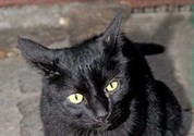 Thousands of black cats killed in Italy for fur and rituals - ANSA English - ANSA.it | Plant Based Transitions | Scoop.it