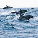 Catastrophe for Dolphin off Peru | Ecology Global Network | Makamundo (Earthly) | Scoop.it