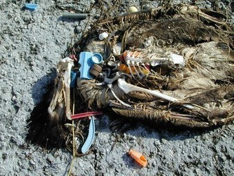 Coming to Grips with Plastic Pollution, One Bird at a Time - Midway   OUR OCEANS NEED US   Scoop.it
