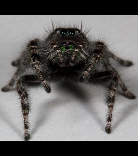 Pourquoi les araignées ont-elles autant de paires d'yeux ? | Rescoop -Faune - Flore - Environnement | Scoop.it