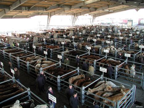 J'ai visité le marché aux bestiaux de Laissac   L'info tourisme en Aveyron   Scoop.it