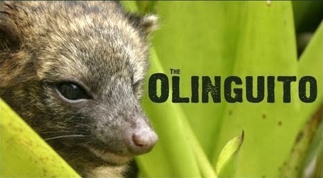 Nature Galapagos Welcomes the newest mammal of Ecuador- Olinguito | Main Attractions in Galapagos | Scoop.it