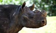 Illegal South African rhino killings hit record high | What's Happening to Africa's Rhino? | Scoop.it