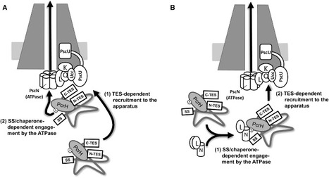 Mol. Mic. (2012): A translocator-specific export signal establishes the translocator–effector secretion hierarchy that is important for type III secretion system function | Effectors and Plant Immunity | Scoop.it