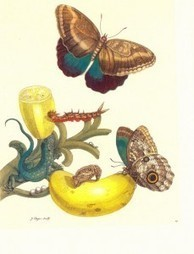 Art, Science, and Butterfly Metamorphosis: How a 17th-Century Woman Laid the Foundations of Modern Entomology   Arte y Cultura en circulación   Scoop.it