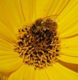 Fleur et abeille, tons sur tons : galeriephotos | Côté Jardin | Scoop.it