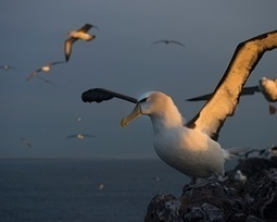 Albatross Island: the remote outcrop where conservation counts – in pictures | Biodiversité | Scoop.it