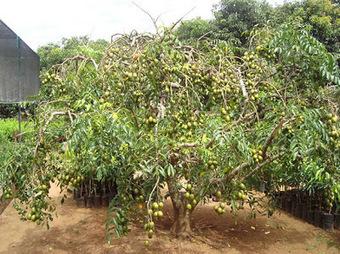 le dimanche indo-européen: Se garer sous un manguier? Au Sri Lanka? | le dimanche indo-européen | Scoop.it