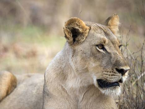 African savannah loses two-thirds of its lions in 50 years | Eye of the beholder | Scoop.it
