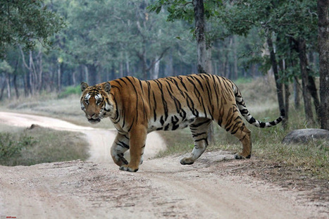 Ranthambore National Park Safari Tours: Why You Should Try Ranthambore National Park Safari At Least One?   Safaris in India & Africa   Scoop.it
