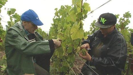 Des vendanges très techniques en Champagne | Le Vin et + encore | Scoop.it