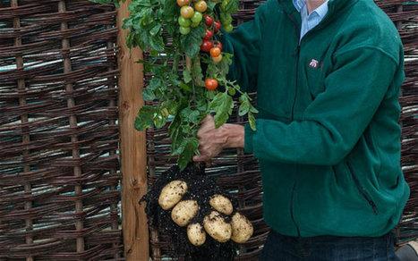 Tomtato : Une plante hybride produit à la fois des tomates et des pommes de terre - CitizenPost | Chimie verte et agroécologie | Scoop.it