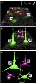 From Functional Architecture to Functional Connectomics | Neuroscience_topics | Scoop.it