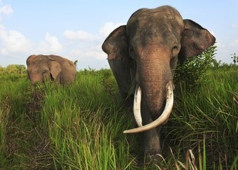 How to Scare Elephants--For Their Own Good - National Geographic | ELEPHANTS | Scoop.it